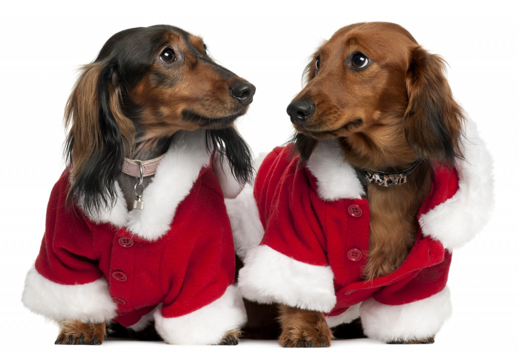 Christmas dachshunds